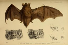 Image of Lesser Woolly Bat