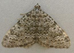 Image of <i>Coenotephria salicata</i> (Denis & Schiffermuller 1775) Denis & Schiffermuller 1775