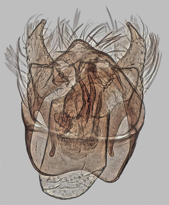 Image of <i>Trifurcula cryptella</i> (Stainton 1856) Johansson 1971