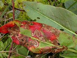 Image of pigmy sorrel moth