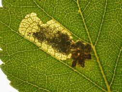 Image of <i>Ectoedemia minimella</i> (Zetterstedt 1839) van Nieukerken 1985