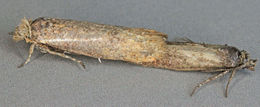 Image of <i>Ochsenheimeria urella</i>