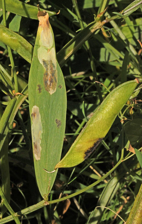 Image of <i>Leucoptera lathyrifoliella</i> Stainton 1866