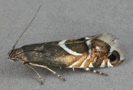 Image of <i>Glyphipterix schoenicolella</i> Boyd 1858