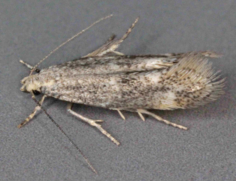 Image of <i>Elachista alpinella</i> Stainton 1854