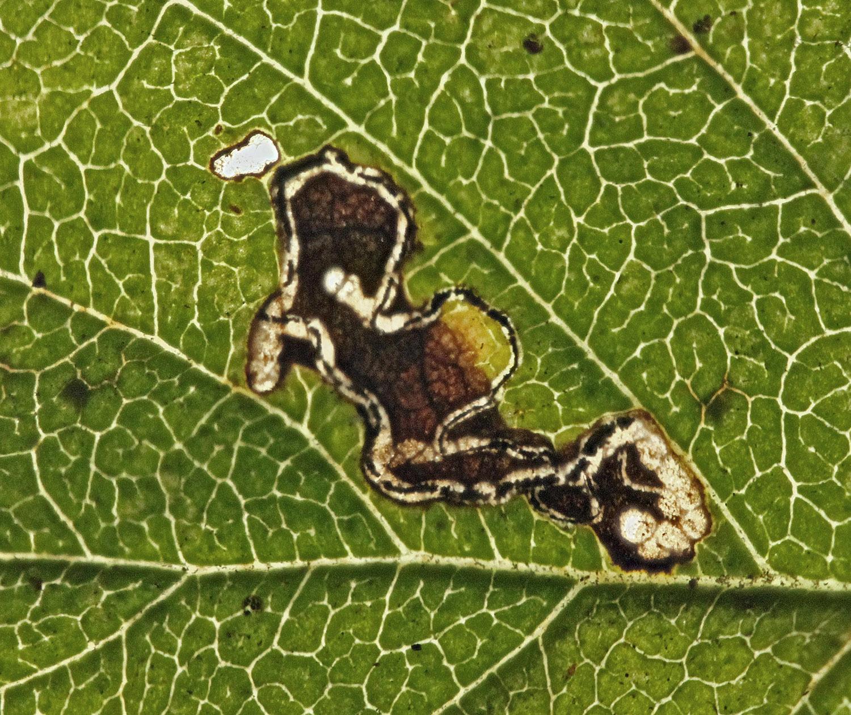 Image of elm bent-wing