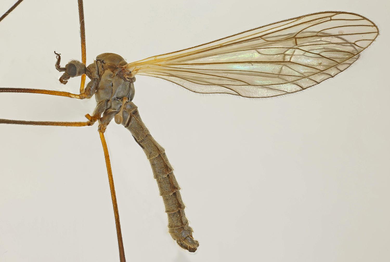 Image of <i><i>Tricyphona</i></i> (Tricyphona) <i>immaculata</i> (Meigen 1804)