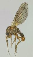 Image of <i>Thaumalea verralli</i> Edwards 1929