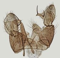 Image of <i><i>Dicranomyia</i></i> (Dicranomyia) <i>goritiensis</i> (Mik 1864)