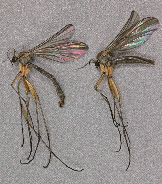 Image of <i>Boletina trivittata</i> (Meigen 1818)