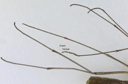 Image of <i>Bolitophila cinerea</i> Meigen 1818