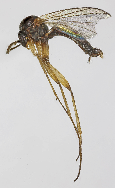 Image of <i>Acnemia nitidicollis</i> (Meigen 1818)