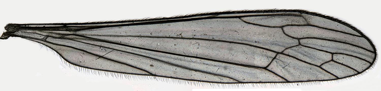 Image of <i><i>Dicranomyia</i></i> (Dicranomyia) <i>sera</i> (Walker 1848)