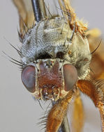 Image of <i>Heleomyza serrata</i> (Linnaeus 1758)
