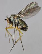 Image of <i>Gymnopternus celer</i>