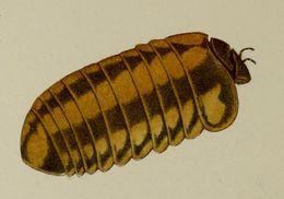 Image of <i>Glomeris connexa</i>