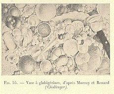 Image of Globigerina d'Orbigny 1826