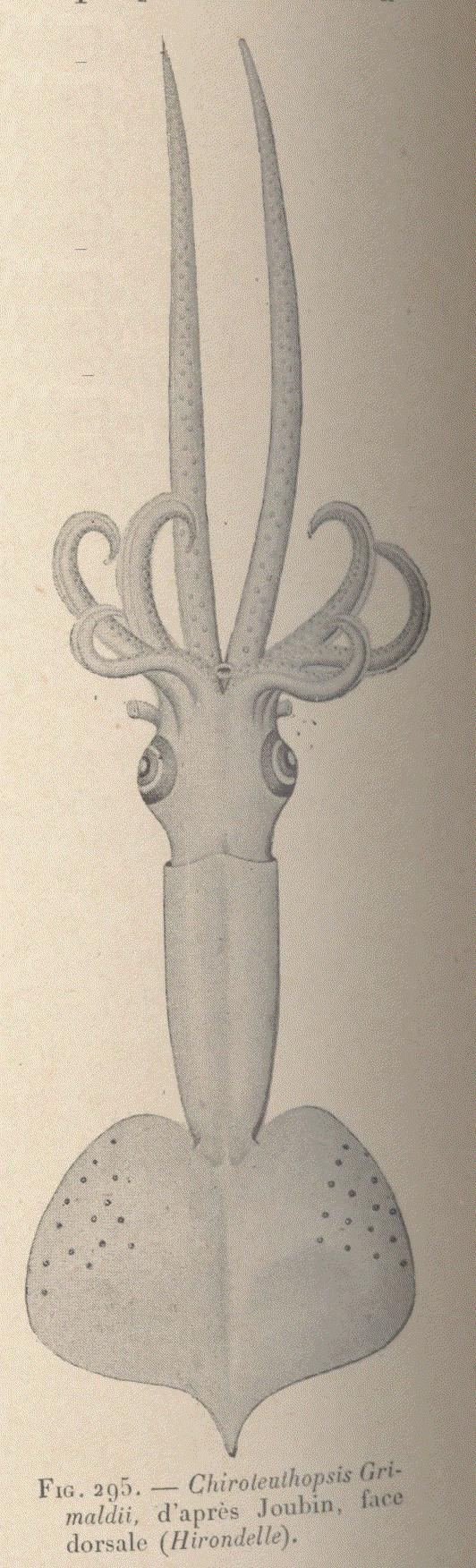 Image of <i>Mastigoteuthis grimaldii</i> (Joubin 1895)