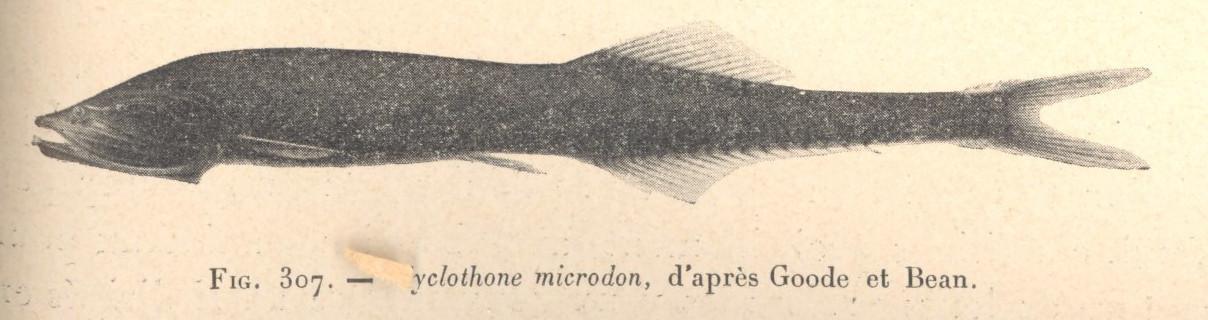 Image of Bristlemouth