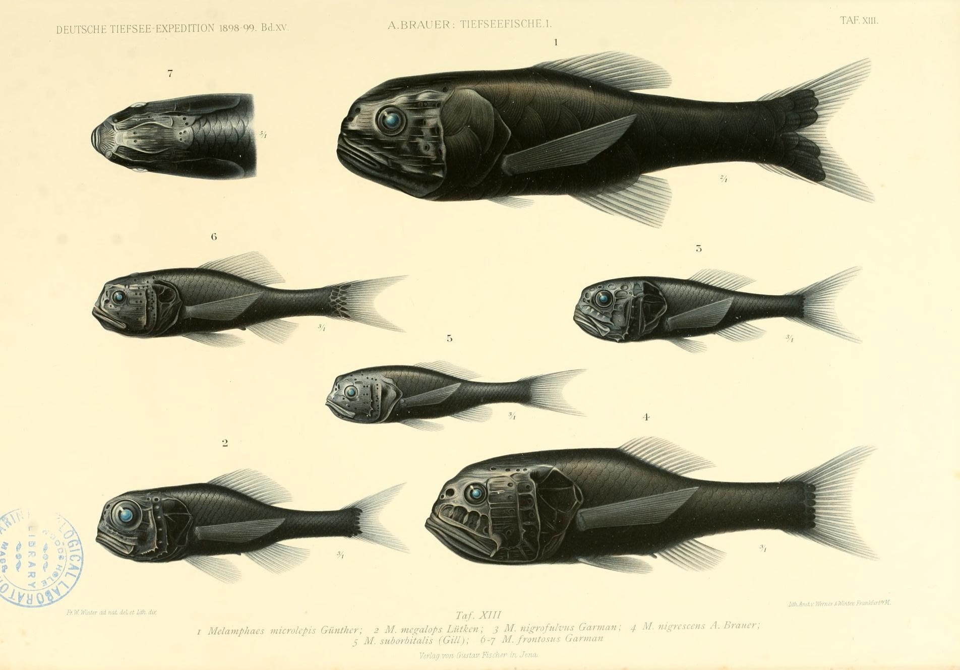 Image of deep-sea bigscale fishes