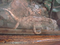 Image of Savigny's Agama