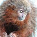 Image of Caquet· titi monkey
