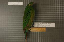 Image of Hose's Broadbill