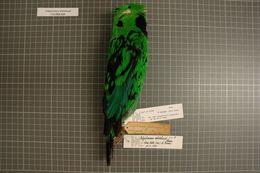 Image of Whitehead's Broadbill