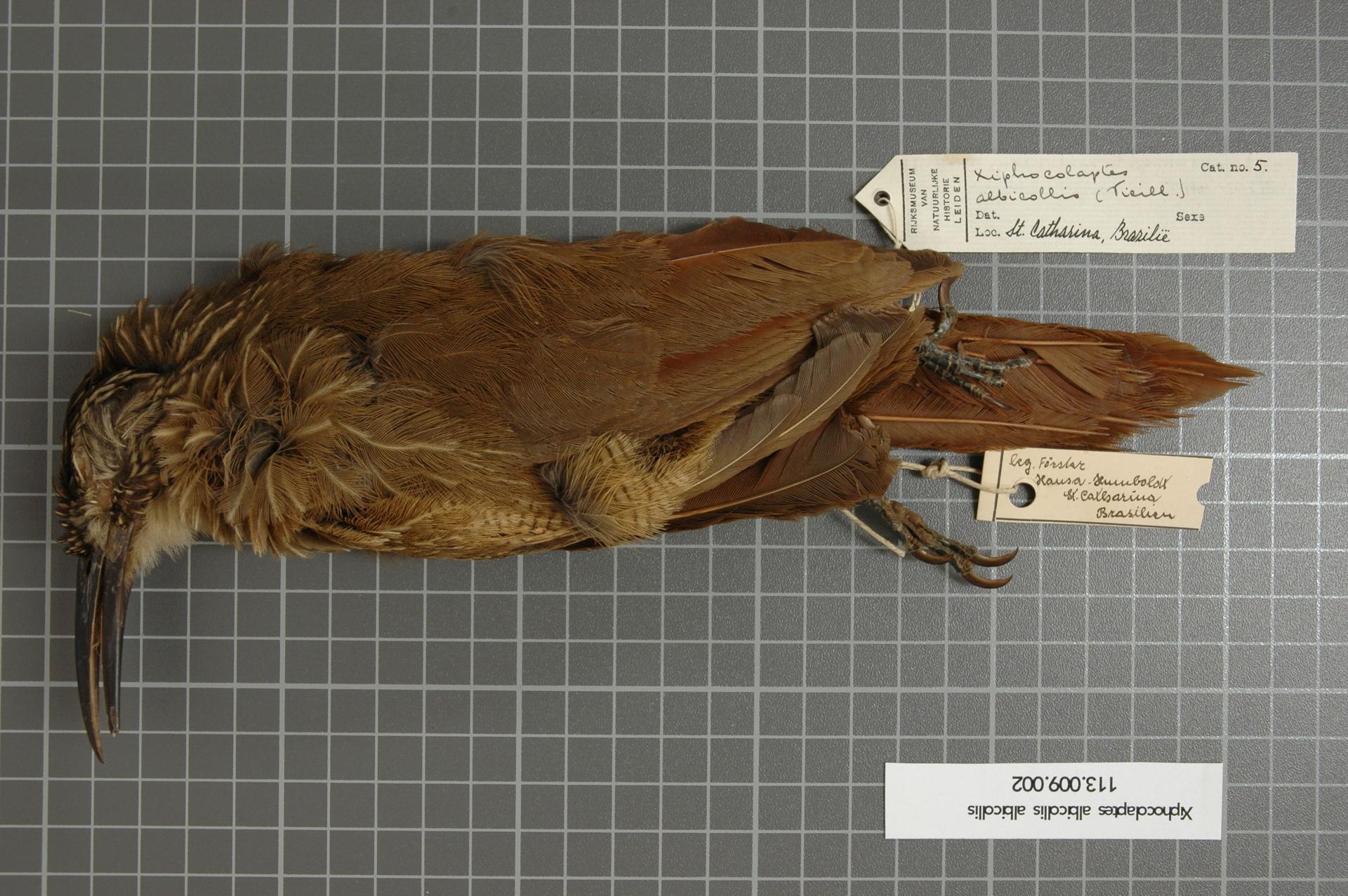 Image of White-throated Woodcreeper