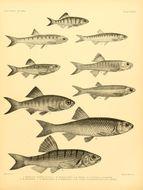 Image of Barilius