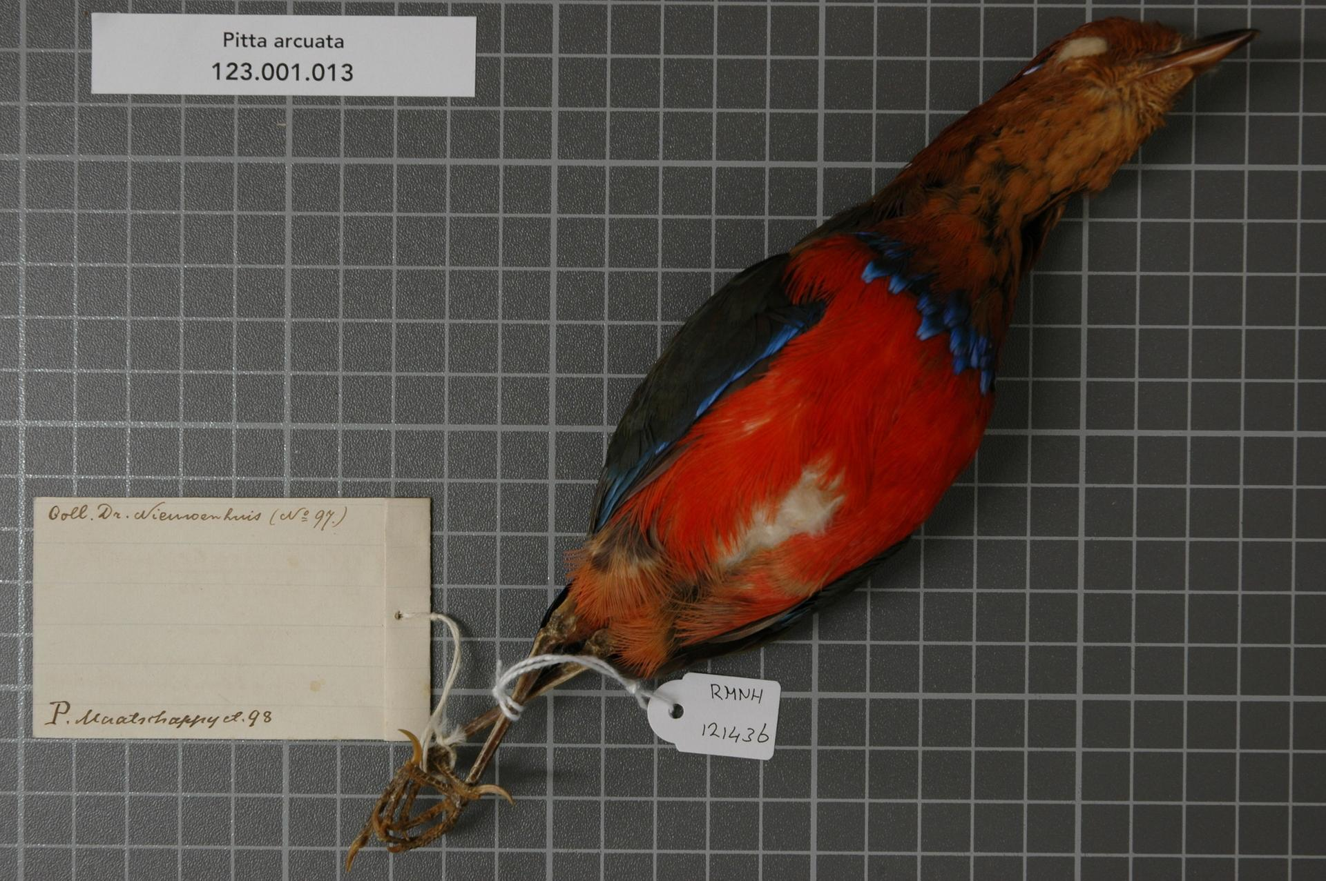 Image of Blue-banded Pitta