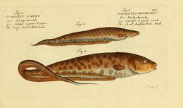 Image of banded knifefish