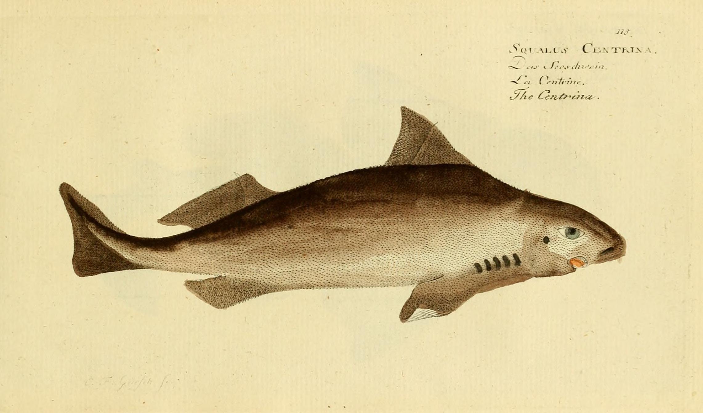 Image of Angular Rough Shark