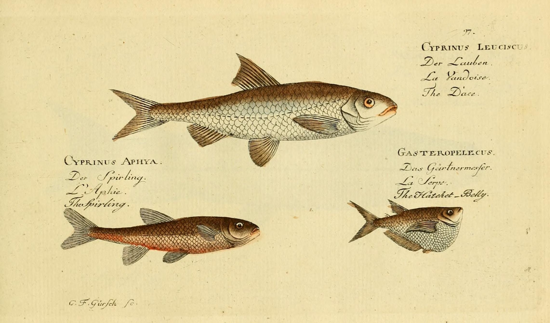 Image of Gasteropelecus