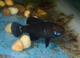 Image of Okefenokee Pygmy Sunfish