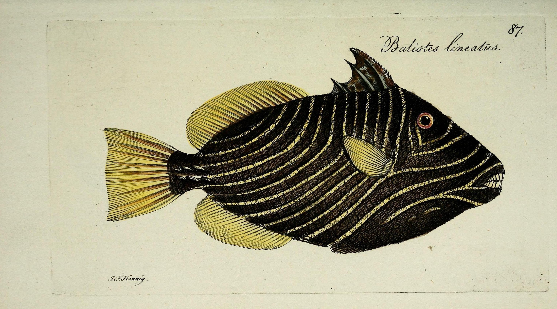 Image of <i>Balistapus undulatus</i> (Park 1797)