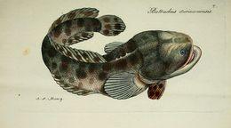 Image of Pacuma Toadfish