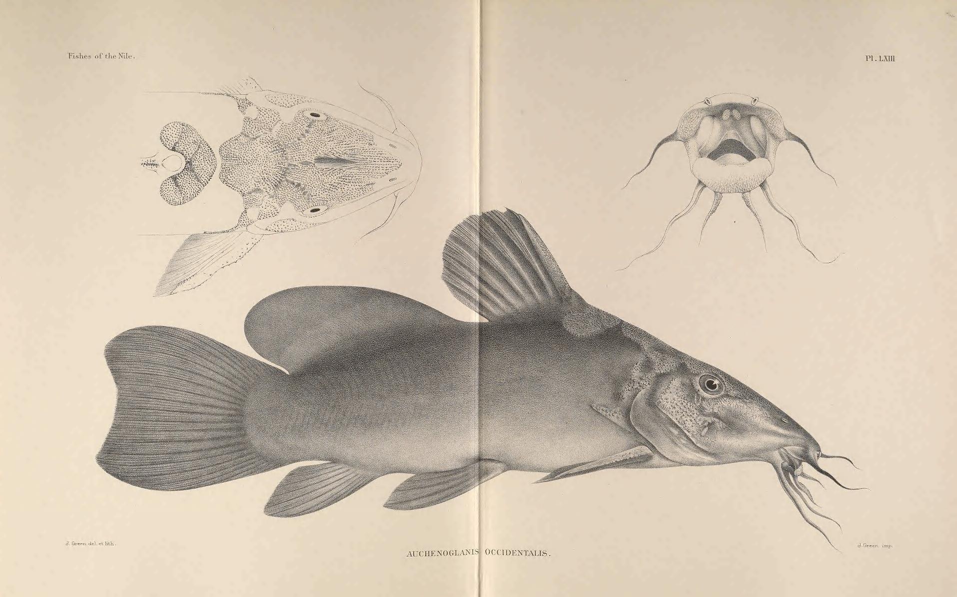 Image of Armoured Catfish