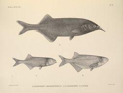 Image of Longnose Stonebasher