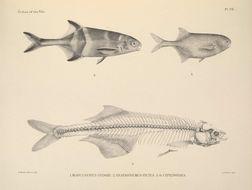 Image of Marcusenius