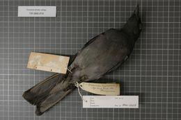 Image of Bar-bellied Cuckoo-shrike