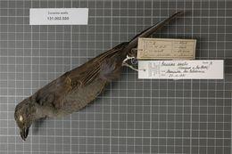 Image of New Caledonian Cuckooshrike