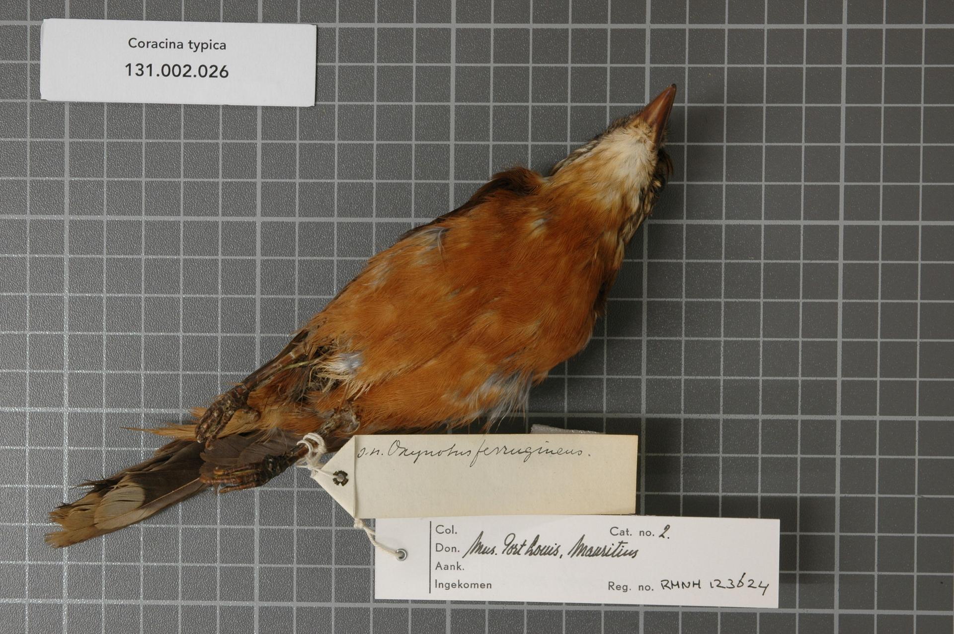 Image of Mauritius Cuckoo-shrike