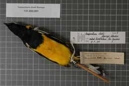 Image of Golden Cuckooshrike