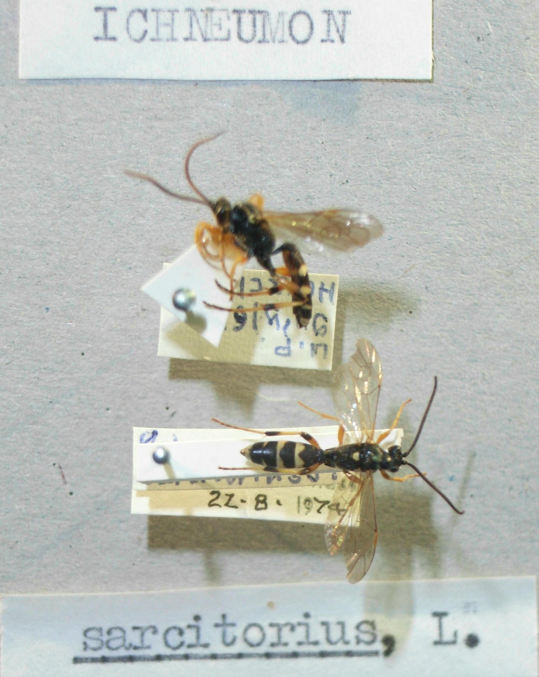 Image of <i>Ichneumon sarcitorius</i> Linnaeus 1758