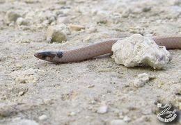 Image of Florida Crowned Snake