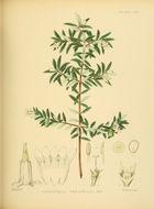 Image of <i>Gaertnera ternifolia</i> Thwaites