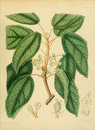 Image of <i>Trichadenia zeylanica</i>