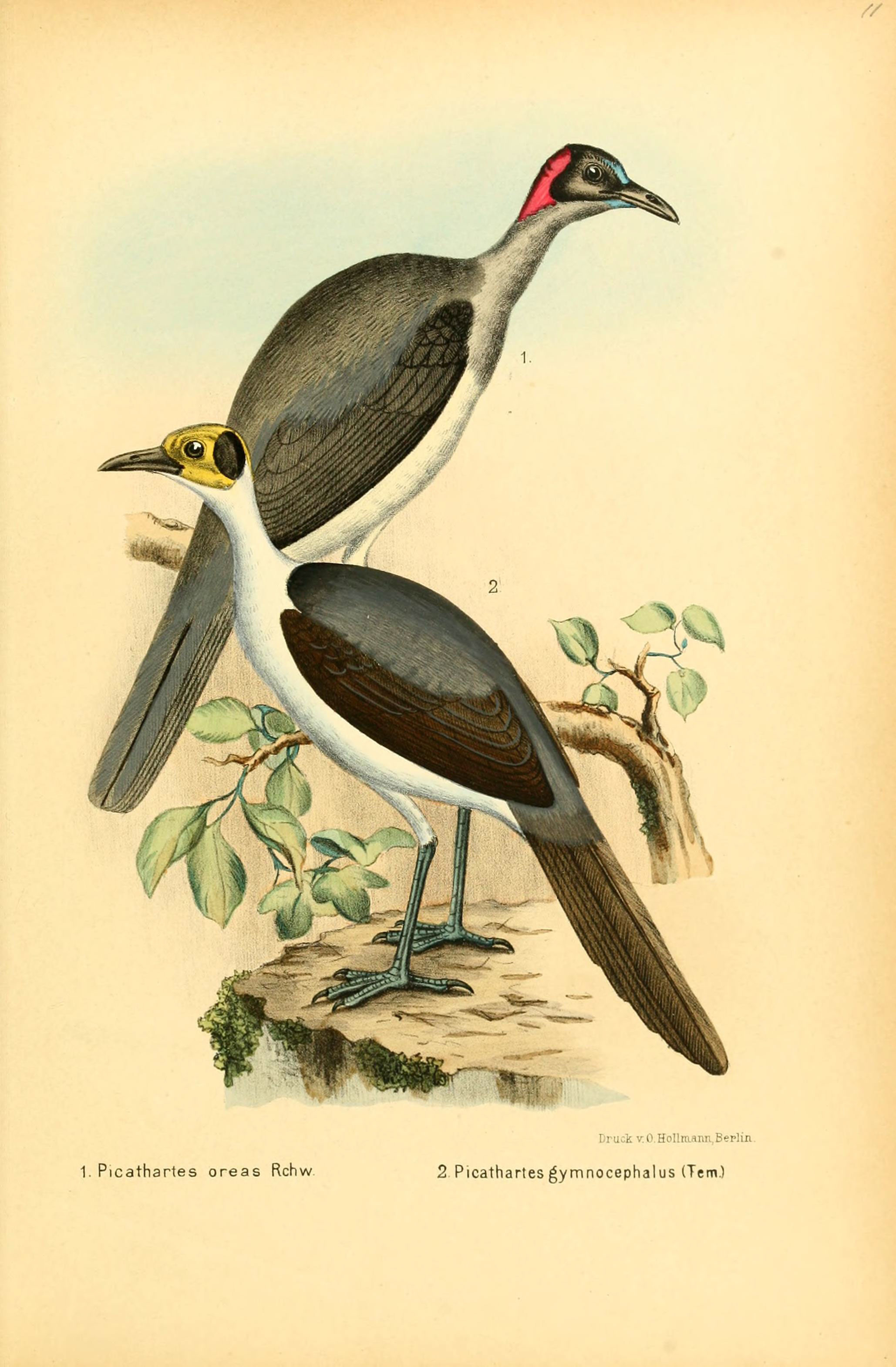 Image of Picathartes Lesson & R 1828