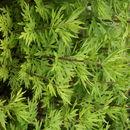 Image of <i>Artemisia verlotiorum</i> Lamotte